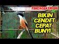 Cendet Bakalan Coba Pancing Dengan Cendet Ini Agar Ikut Emosi Dan Gacor  Mp3 - Mp4 Download