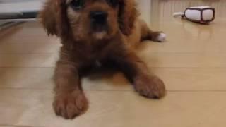 2009年6月27日、我が家へやってきたキャバリアのルビーの子犬。生後2ヶ...