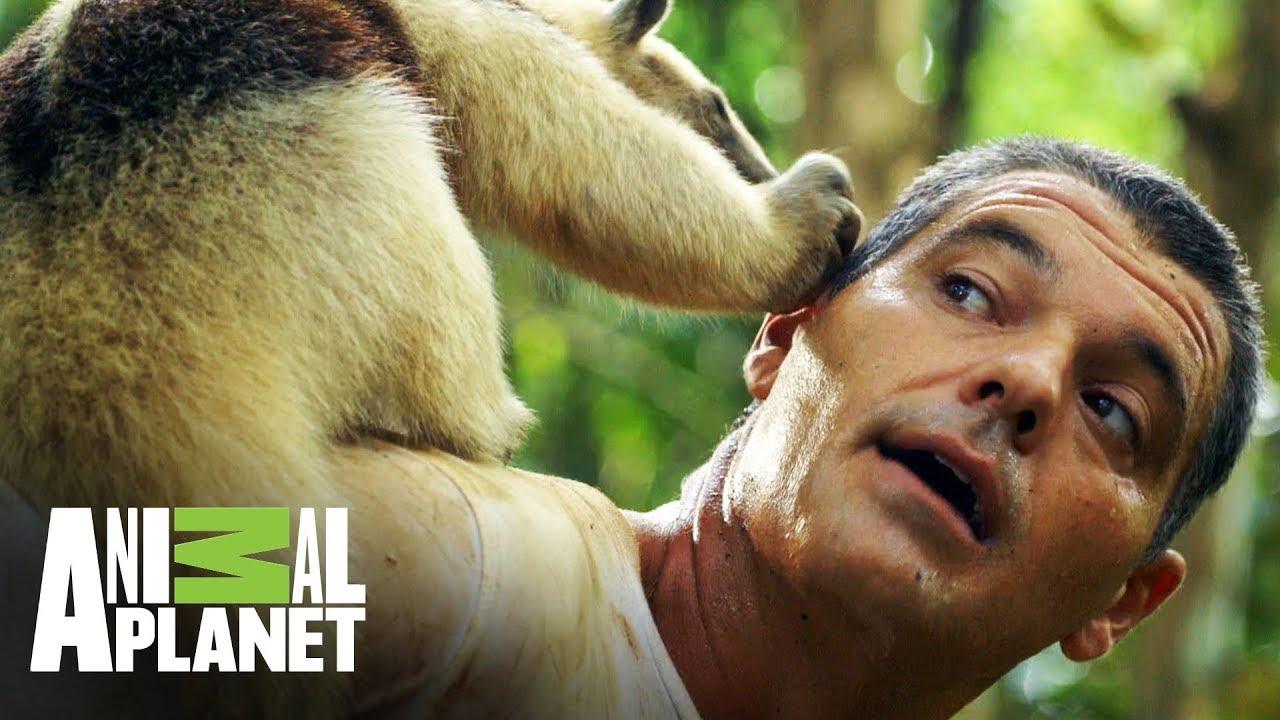 Download ¡Un tamandúa mexicano le muerde la oreja a Frank! | Wild Frank en México | Animal Planet