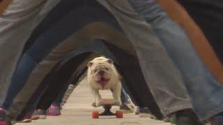 Bulldog skateboards through legs of 30 people, sets world record