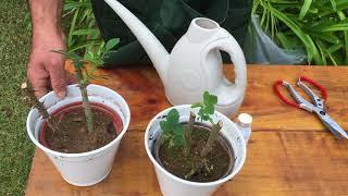 Como Plantar Rosas e Enraizar Estacas Usando Galhos