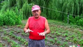 Подкормка клубники после уборки - закладка будущего высокого урожая!!!