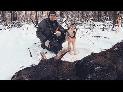 Охота на лося с лайками Урман и Байкал!