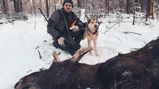 Охота на лося с лайками Урман и Байкал
