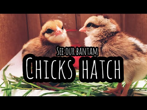 See our Bantam Chicks HATCH! | Front Porch Catholic