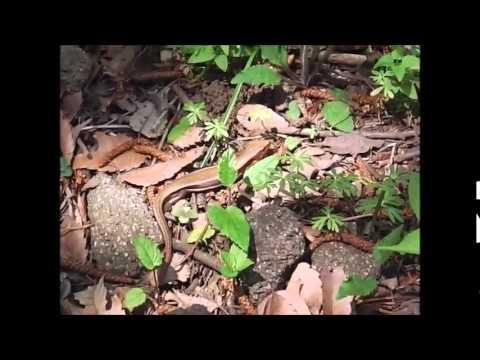จิ้งเหลนหางยาว (Long-tailed Skink)
