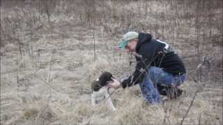 Gundog Training Springer Spaniel Puppy First Find And Retrieve In The Field