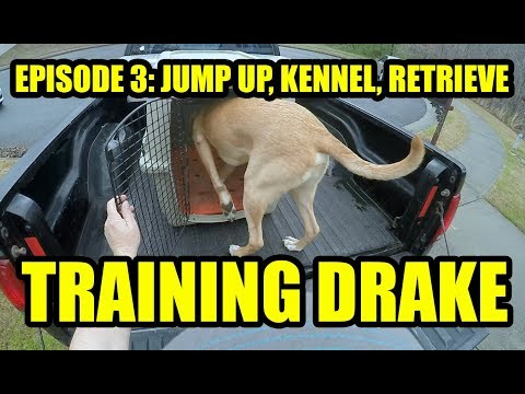 Training Drake Eps 3 Jump into the truck bed & into the kennel