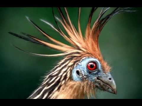 Hoatzin Bird in the Amazon