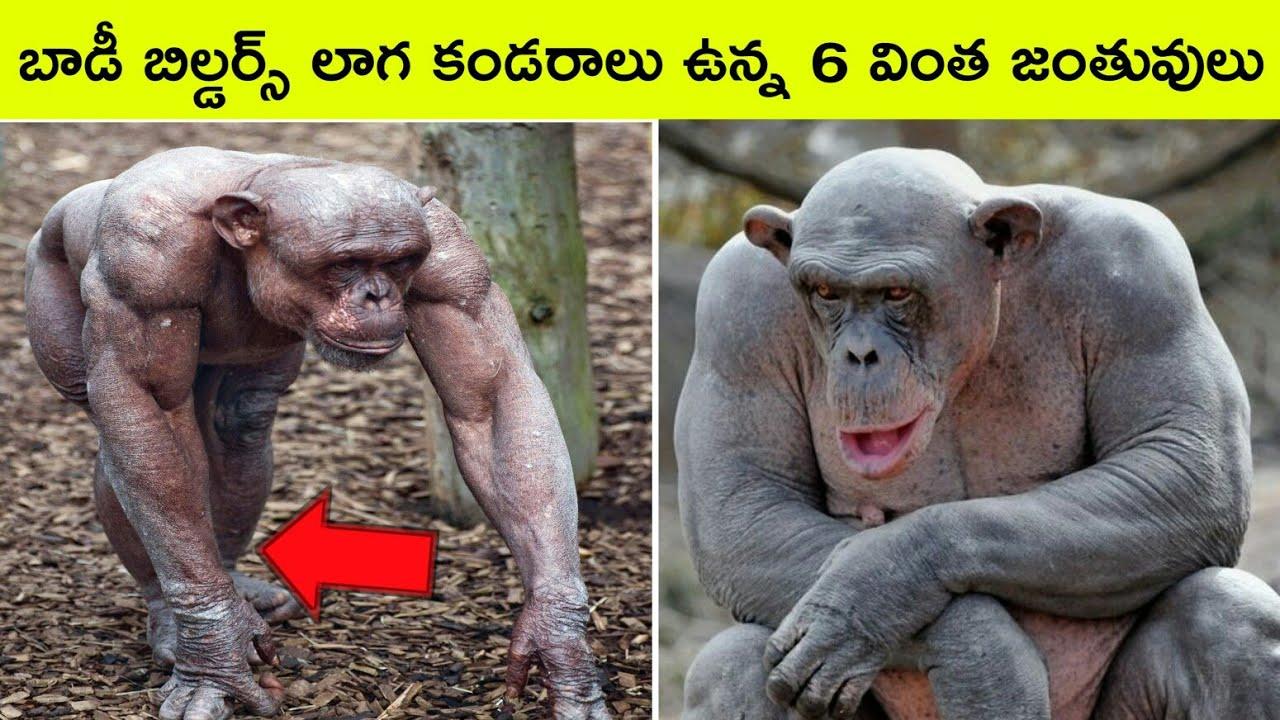 Top 6 Amazing muscular animals | Bmc facts | Telugu