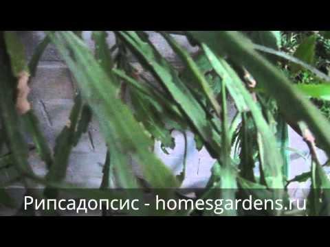 Рипсадопсис - цветок, похожий на шлюмбергеру