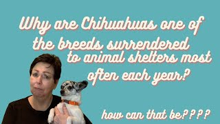 Why are Chihuahuas one of the breeds most often surrendered to animal shelters?