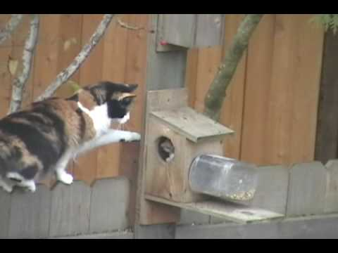 Funniest Video of Calico Cat stalking Hungry Squirrel.wmv
