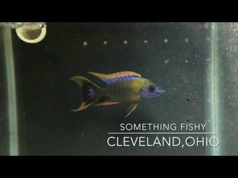 Something Fishy Cleveland, Ohio - African Cichlid LFS