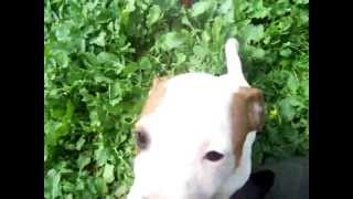 Staffies,staffie,staffy,cachorros,puppies Playing Staffordshire Bull Terrier Zudhell