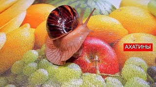Улитка Ахатина откладывает яйца | Релакс | Ahatin's snail lays eggs | Relax