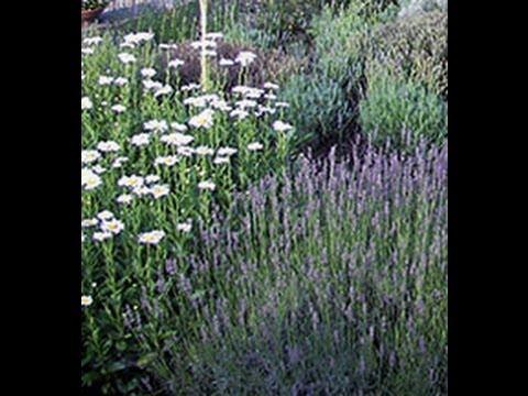 Lavender Plants For Sale Online Greenwood Nursery