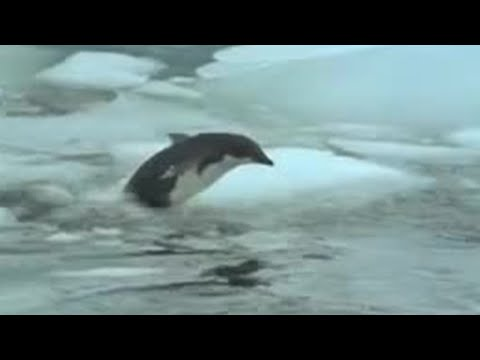 Penguin vs leopard seal - BBC wildlife