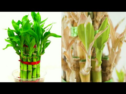 Lucky Bamboo Plant Leaves Turning Yellow Youtube