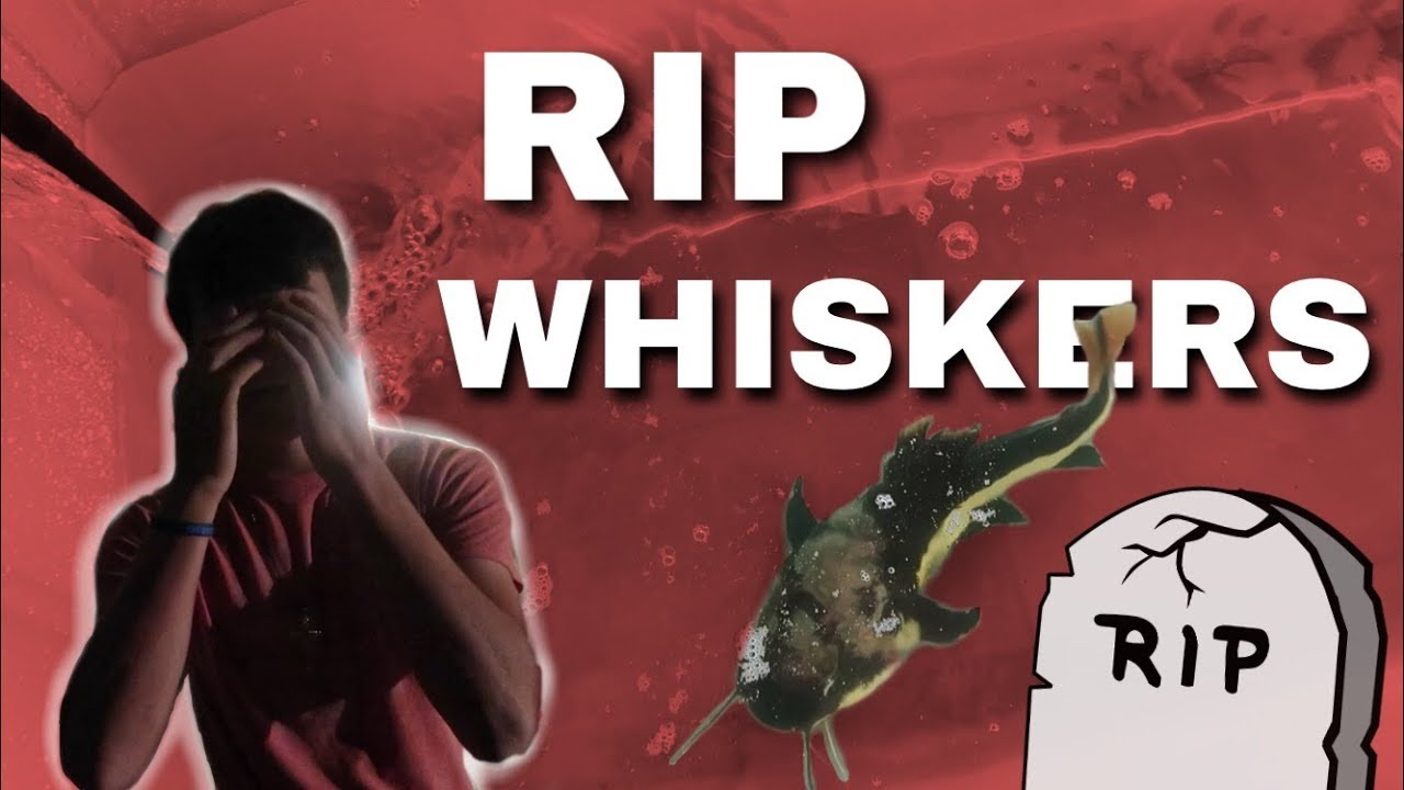 we-lost-a-redtail-catfish-rip-whiskers
