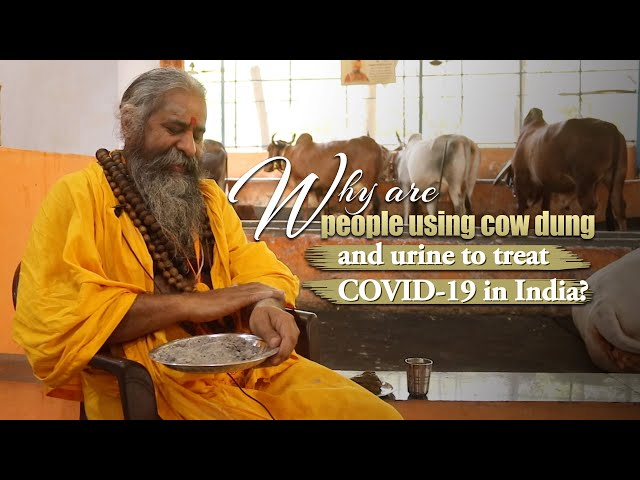 Why are people using cow dung and urine to treat COVID-19 in India?