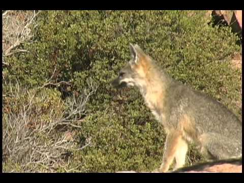 Barking Fox Called in Late September 2009 - Great Vocalizations