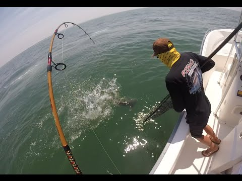 Cobia Sight Fishing Trip July 2016, Chesapeake Bay
