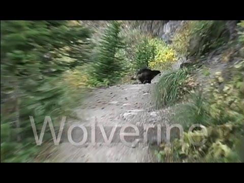 Rare wild Wolverine on the Highline trail