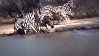 Plains Zebra female, Namibia, August 2016