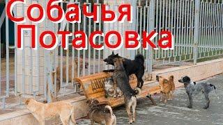 Собачья свадьба и собачья драка