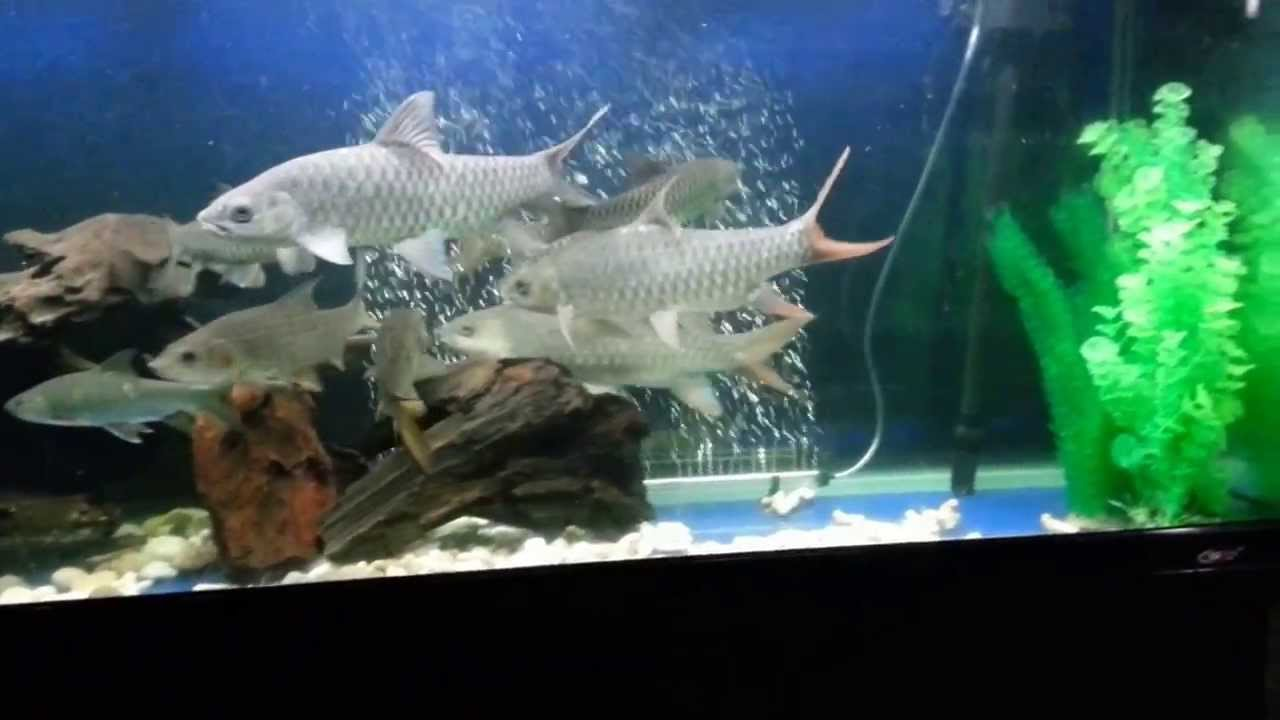 Aquarium with Kelah Merah & Sebarau - Mind Theraphy - YouTube
