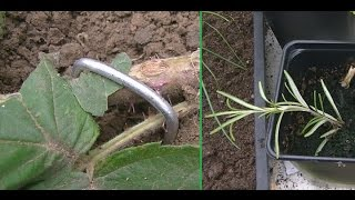Moving The Loganberry I Foodie Gardening Allotment Y1E32