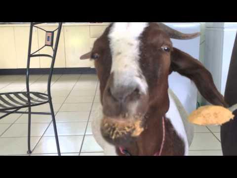 Une chèvre mange du beurre de cacahuètes
