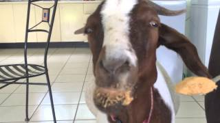 Stephie The Goat Loves Her Peanut Butter!