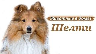 Шелти - породы собак.