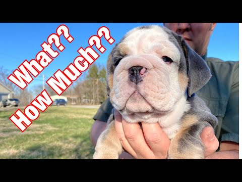 Outrageous Cost Of English Bulldogs Revealed