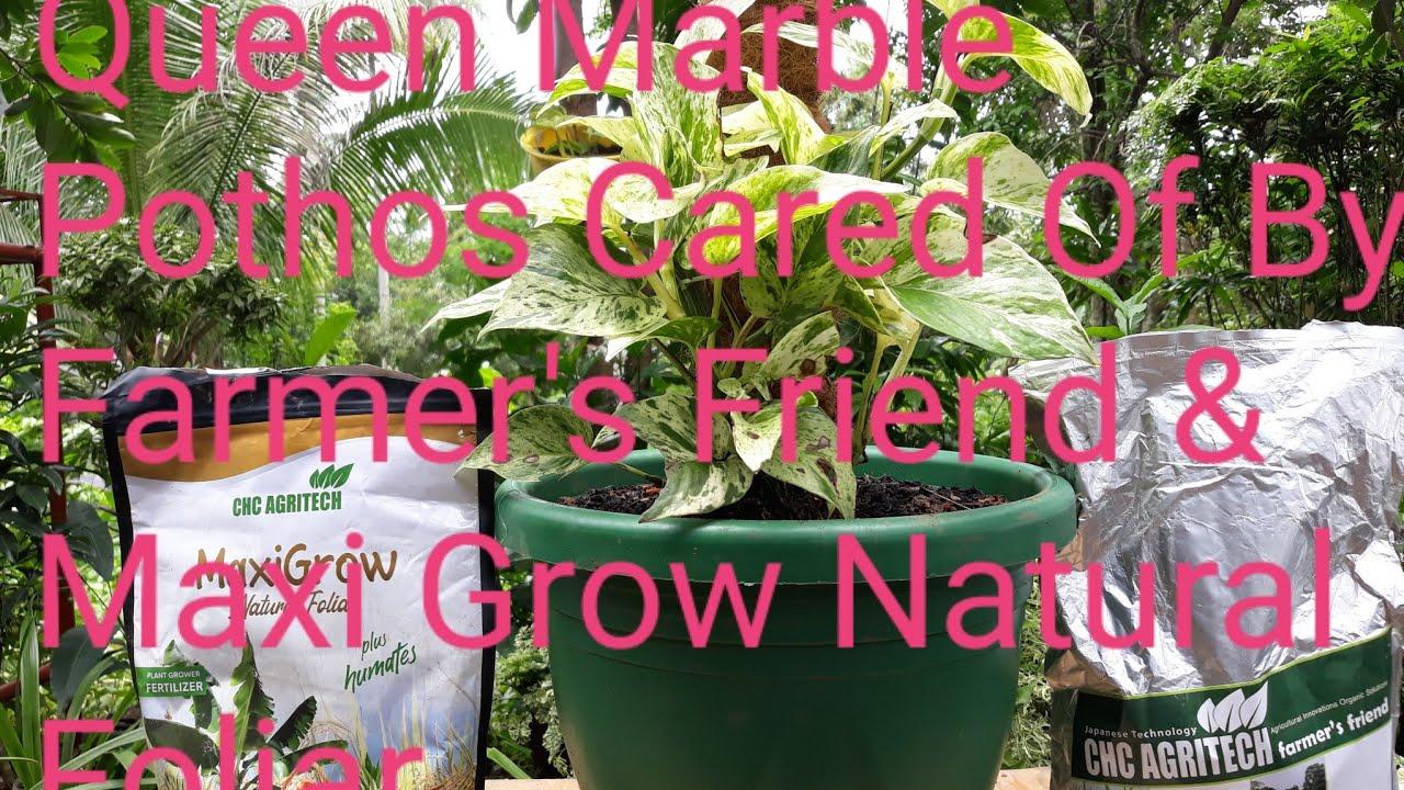 How Queen Marble Pothos Plant Inside The Big Pot With Farmers Friend & Maxi Grow Organic Fertili