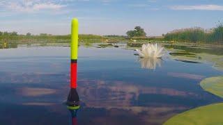 Рыбалка Ведро рыбы Ловлю крупных карасей на поплавок в июне на утреней зорьке My fishing