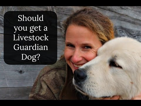 Livestock Guardian Dogs ~ Collaboration ~ Should you get one?
