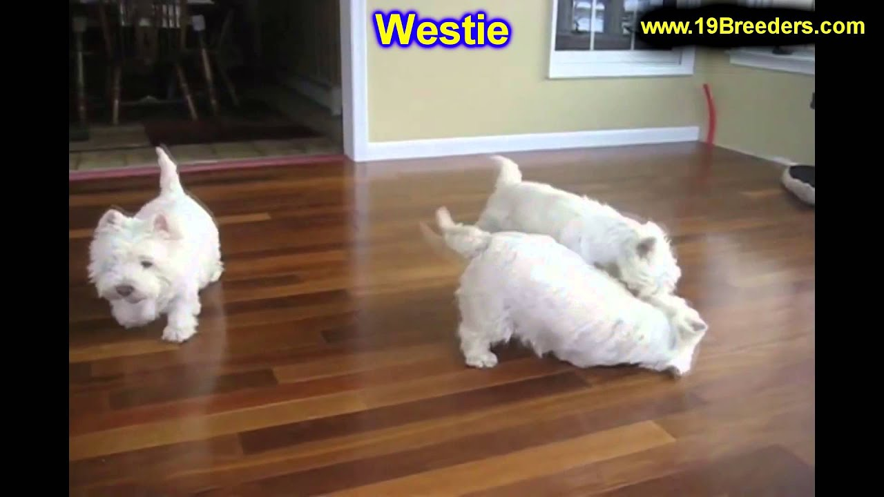 West Highland Terrier, Puppies, For, Sale, In, Indianapolis