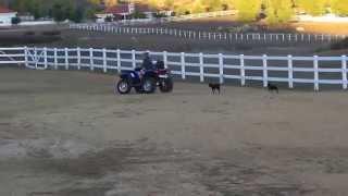 Boston Terrier And Miniature Pincher Chasing Atv. Dog Training Newport Beach, Ca