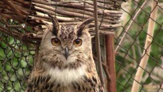Брачный сезон у филина The courtship season at eagle owls