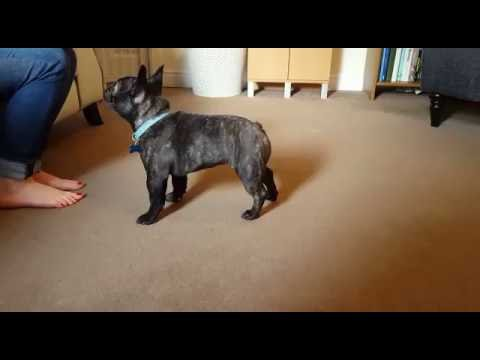 Training a puppy French Bulldog