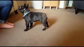 Training a puppy French Bulldog