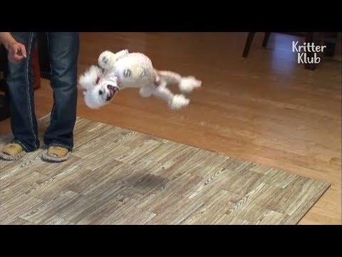 BackwardsTumbling Poodles Got Talents | Kritter Klub