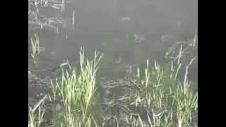 Нерест щуки в мае. Pike spawning in May