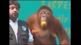 Новая подборка приколов. Смешные обезьяны. Смеяться до слез.