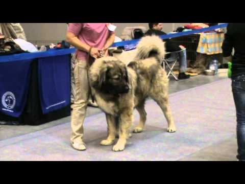 Caucasian Ovcharka at Russia Dog Show