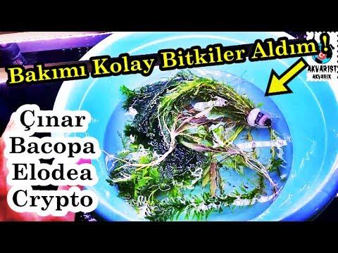 Akvaryuma Bitki Ekledim | Elodea, Crypto, Çınar, Bacopa |