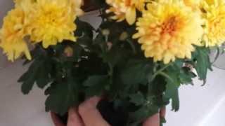 Цветник на окне. Часть 2. Как пересадить цветущее растение? Хризантема.(Пересадка цветущей хризантемы. Метод - перевалка, то есть пересадка с сохранением земляного кома, без повре..., 2015-10-14T15:27:37.000Z)
